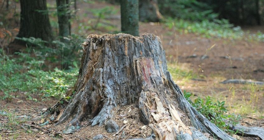 Old_Tree_Stump