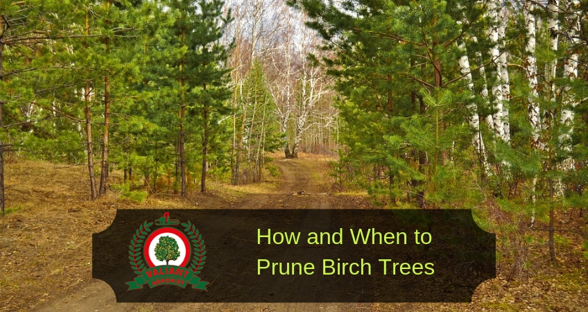 How and When to Prune Birch Trees