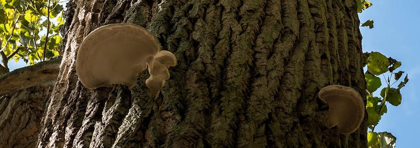 fungul tree