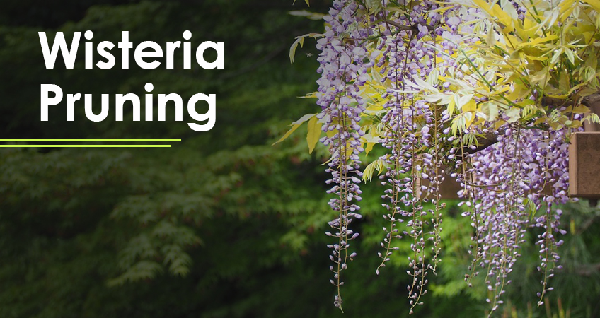 Wisteria Pruning: When & How to Prune Wisteria