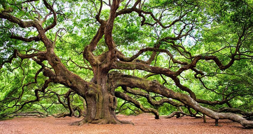 Oak Tree – Symbolism & Planting