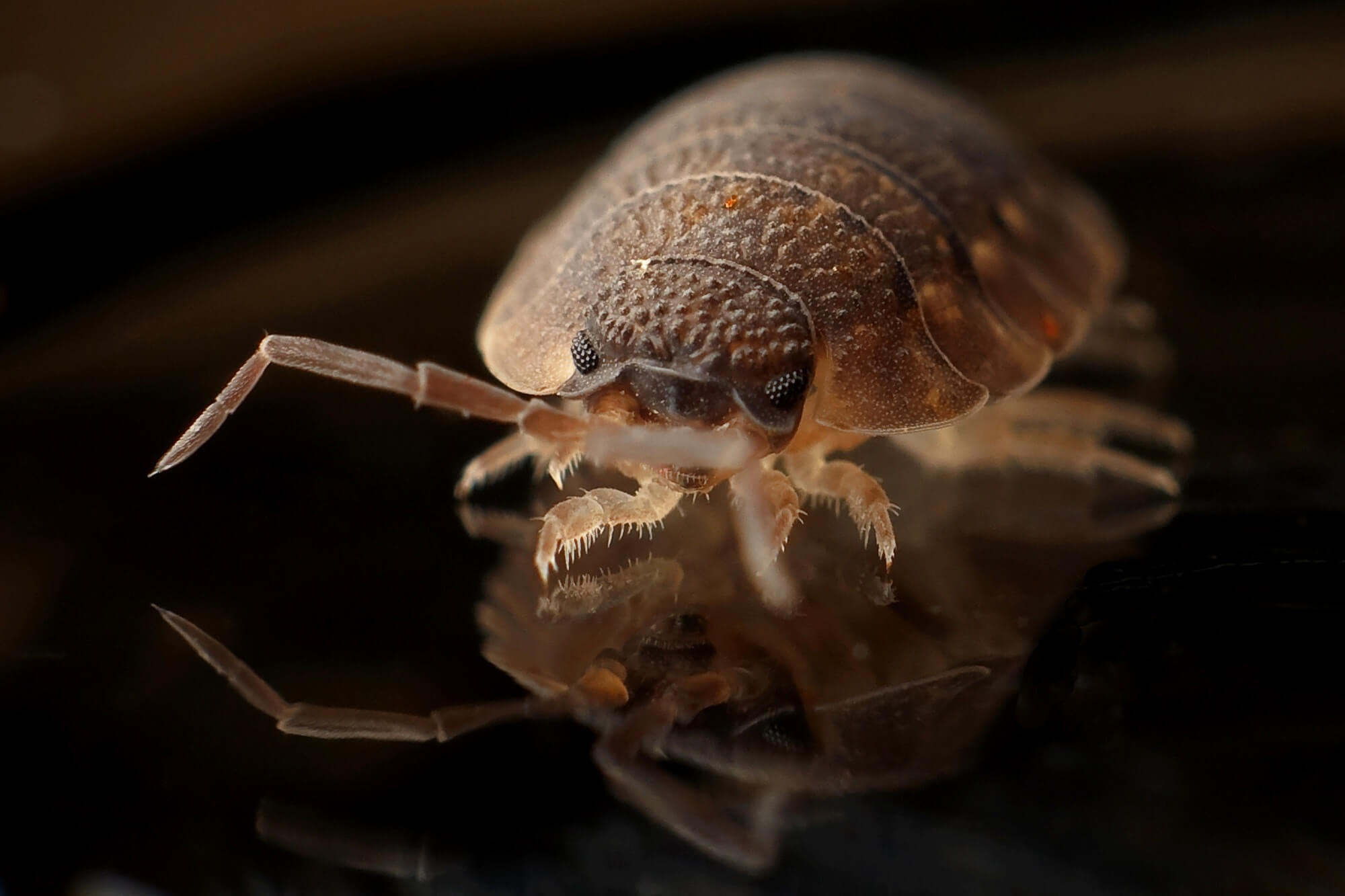 bed bug infestations