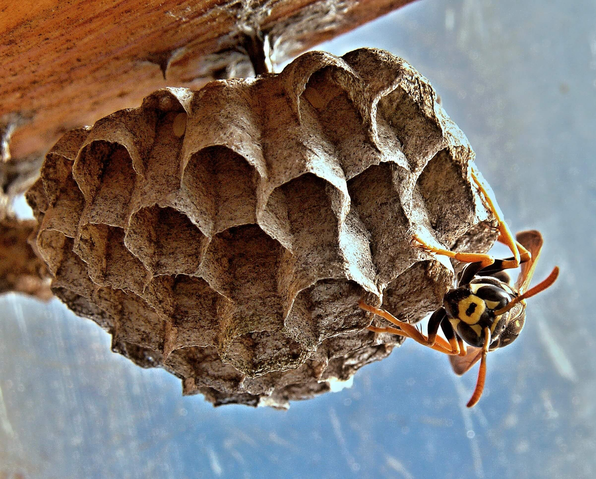 Wasps Nests Removal